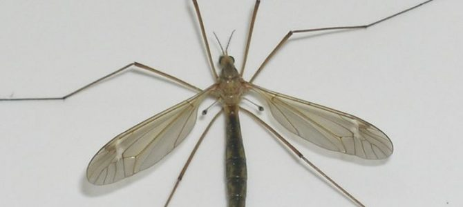 West Virginia Crane Flies