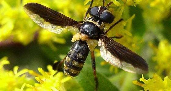West Virginia Tachinid Flies