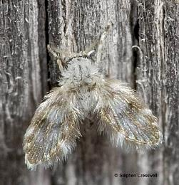 West Virginia Moth Flies